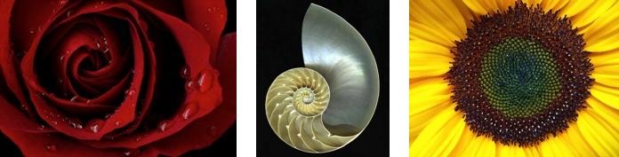 3 illustrations du nombre d'or: pétales de rose, coquille de mollusque et graines de tournesol